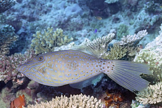 Stock Photo: 1927-3353 Scrawled Filefish Aluterius scriptus Fiji
