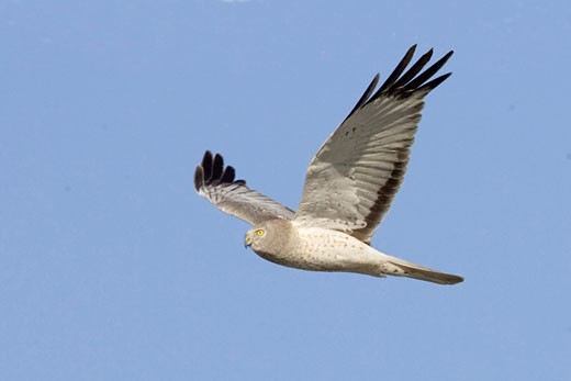 Northern Harrier in flight male Circus cyaneus Back Bay Reserve  Calaifornia : Stock Photo