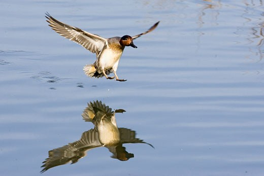 Stock Photo: 1927-4025 Green winged Teal Duck landing with full reflection male Anas crecca Back Bay Reserve  California