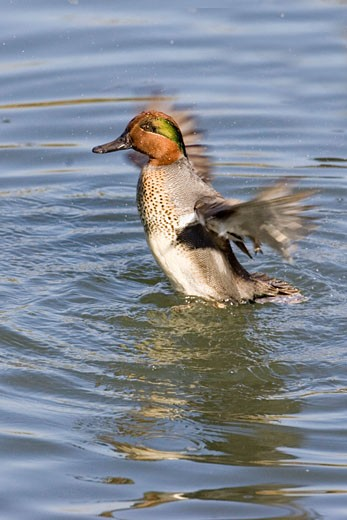 Green winged Teal Ducik flapping its wings Anas crecca Back Bay Reserve  California : Stock Photo