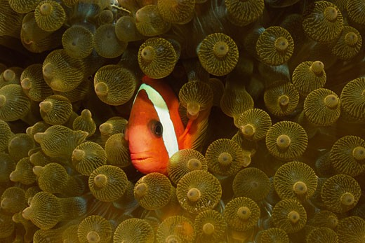 Tomato Clownfish in Bulb Tenacle Sea Anemone Amphiprion frenatus in Entacmaea quadricolor Solomon Islands : Stock Photo