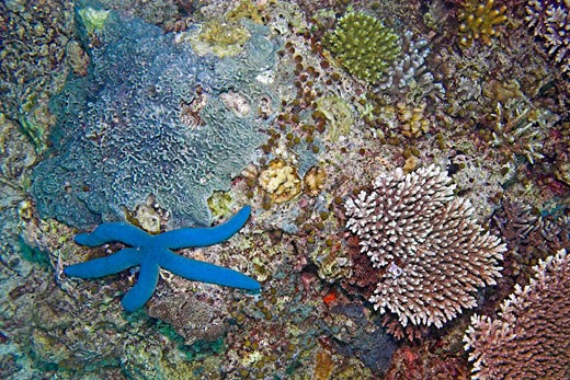 Stock Photo: 1930-1046 Underwater starfish in sipadan island Borneo