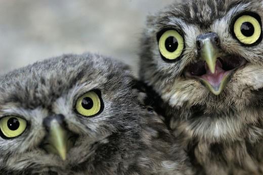 Little owl   Athena noctua  Aragon Spain Europe : Stock Photo