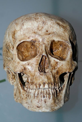 Human Skull  Scientists reconstruct ancient hominids to provide a glimpse of our ancestors : Stock Photo