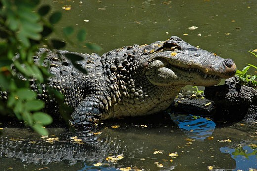 Alligator : Stock Photo
