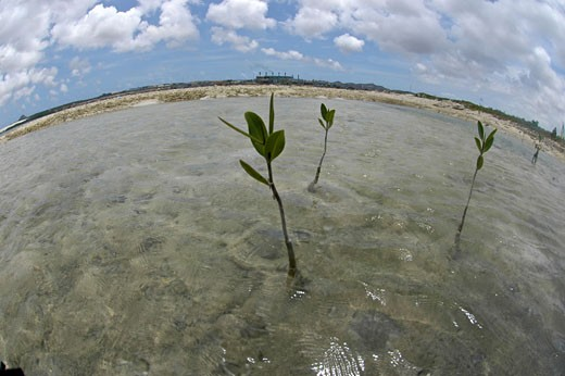 Mangroves growing on the sandy areas : Stock Photo