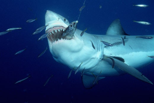 White shark  Carcharhodon carcharias  is found worldwide One of the ocean s top level predators  it feeds on marine mammals One of the only sharks known to attack man  Guadalupe Is   Mexico  Pacific Ocean : Stock Photo