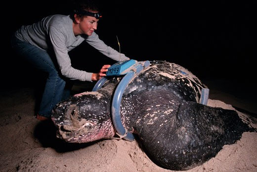 The Leatherback Turtle  Dermochelys coriacea  is a deep diving  open ocean resident Marine scientists use satellite tracking to discover migration routes  Florida : Stock Photo