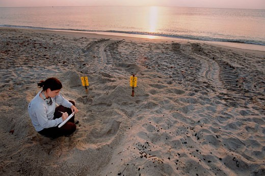 Marine scientists study the Leatherback Turtle  Dermochelys coriacea  Counting nests and eggs monitors the health of this endangered species  Florida : Stock Photo