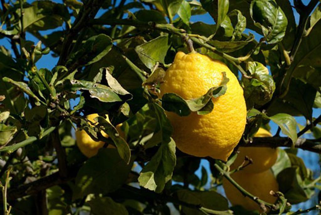 Lemon tree San Carlos Ibiza : Stock Photo