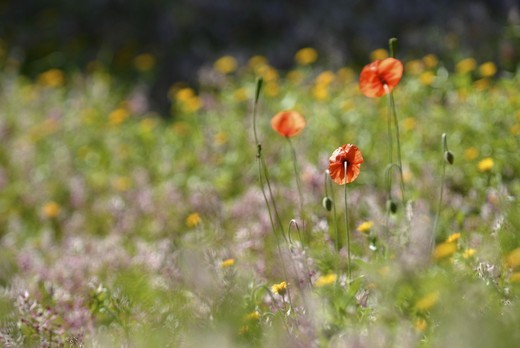 Stock Photo: 1938-1024 Red field poppies in the beautiful fields of Ibiza Spain