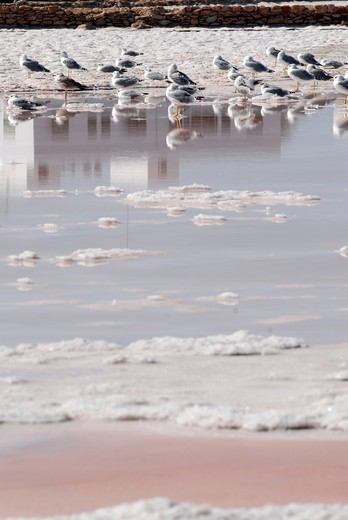 Stock Photo: 1938-3037 Seagulls in a salt pool, Las Salinas, Formentera Island, Balearic Islands, Spain