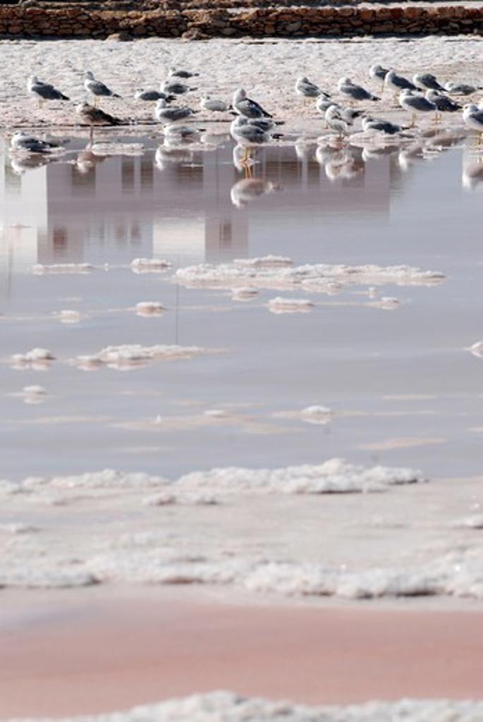 Seagulls in a salt pool, Las Salinas, Formentera Island, Balearic Islands, Spain : Stock Photo