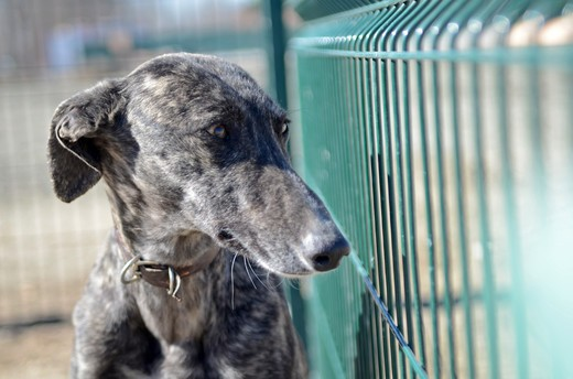 Spain, Madrid, Abandoned greyhound waiting for new owner in dog shelter : Stock Photo