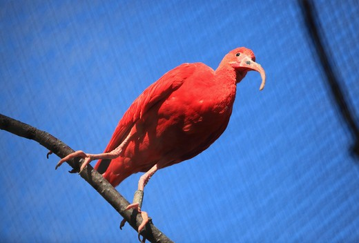 UK, England, London, Regent's Park, Scarlet Ibis (Eudocimus rubber) in London Zoo : Stock Photo