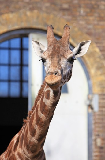 UK, England, London, Regent's Park, Giraffes (Giraffa camelopardalis) in London Zoo : Stock Photo