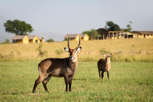 Waterbucks (Kobus ellipsiprymnus) standing in a field, Kidepo Valley National Park, Karamoja, Uganda : Stock Photo