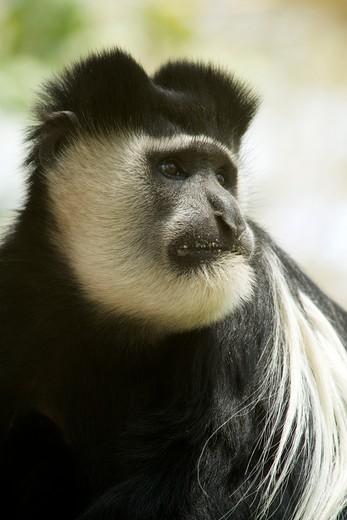Close-up of a Colobus monkey (Colobus abyssinicus), Uganda : Stock Photo