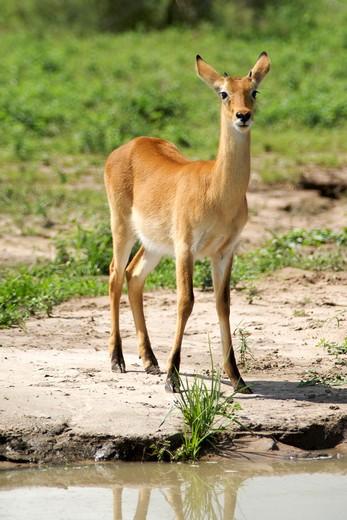 Oribi (Ourebia ourebi) standing in a field, Murchison Falls National Park, Uganda : Stock Photo