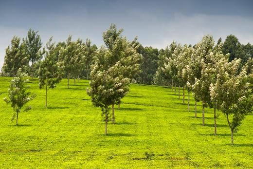 Tea plantations, Fort Portal, Uganda : Stock Photo