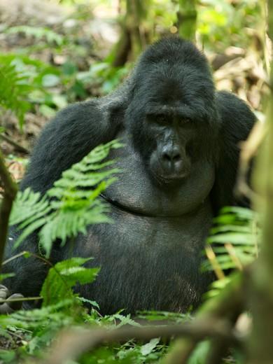 Close-up of a Mountain gorilla (Gorilla beringei beringei) in a forest, Bwindi Impenetrable National Park, Uganda : Stock Photo