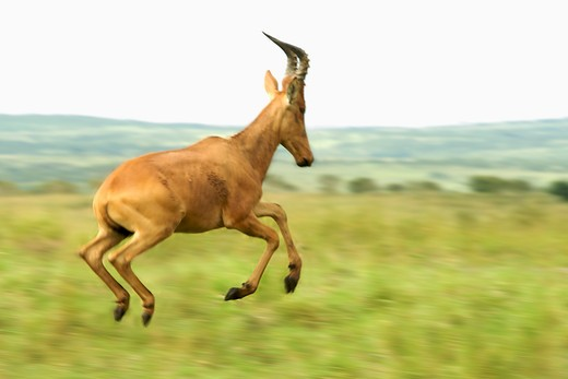 Jackson's hartebeest (Alcelaphus buselaphus) running in a field, Murchison Falls National Park, Uganda : Stock Photo