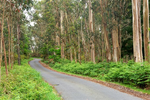 Spain, Galicia, La Coruna Province, Road through Eucalyptus forest : Stock Photo