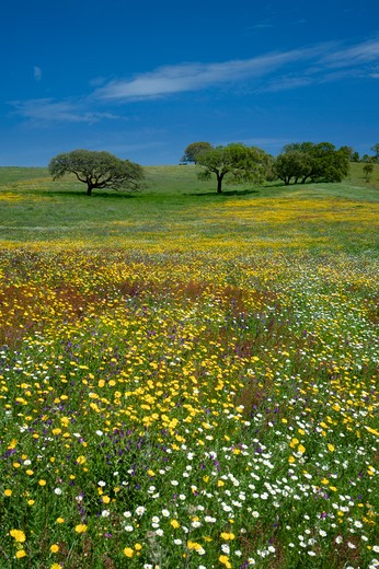 Portugal, The Alentejo, Wild Flowers And Cork Trees : Stock Photo