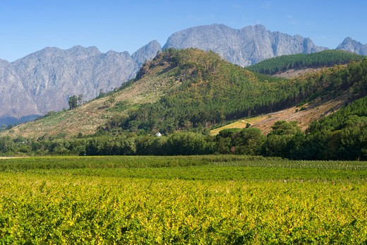 Vineyards In The Franschhoek Valley, Western Cape Province, South Africa. : Stock Photo