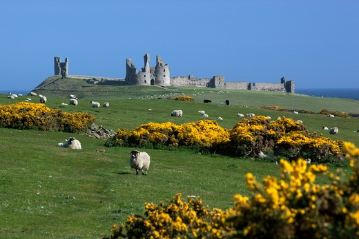 View to ruins of medieval Dunstanburgh Castle. : Stock Photo
