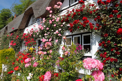 Shepherds Cottage covered in Summer Roses : Stock Photo