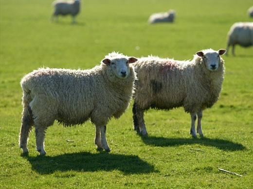 Romney Marsh Sheep, East Sussex/Kent : Stock Photo