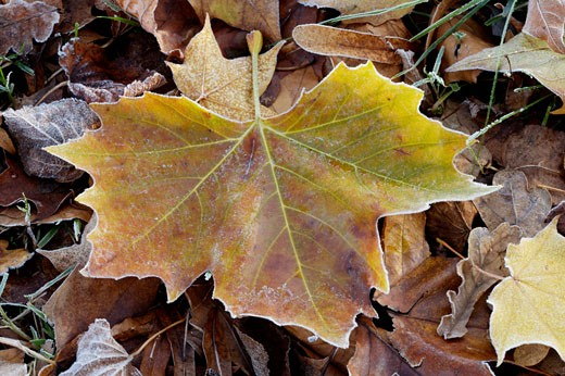 Frosted Autumn Leaves : Stock Photo