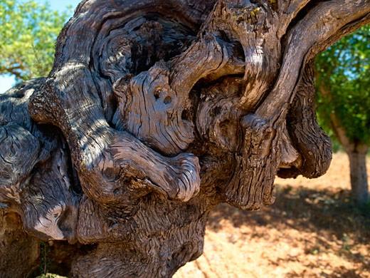 Ibiza, Olive Tree : Stock Photo