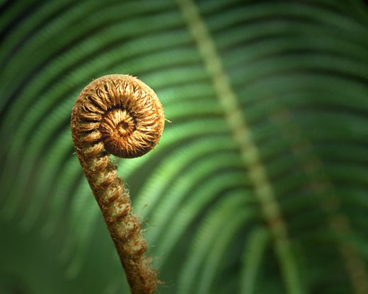 Big Fern On The Big Island : Stock Photo
