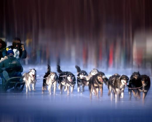 Dogs, Huskies : Stock Photo