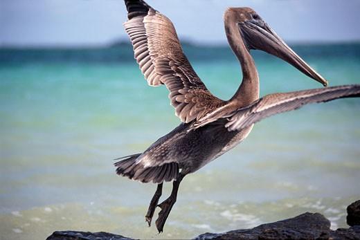 Brown Pelican,  Sian Ka'an Biosphere Reserve : Stock Photo