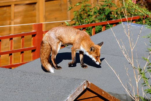 Red Fox,  Suburban  Garden In London. : Stock Photo