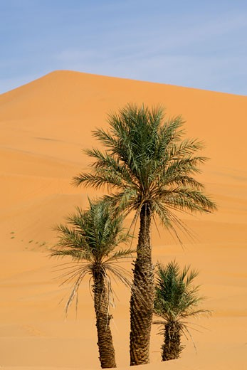 Palm Trees Growing Amongst The Sand Dunes Of Erg Chebbi Near The Town Of Merzouga, Periphery Of The Sahara Desert : Stock Photo
