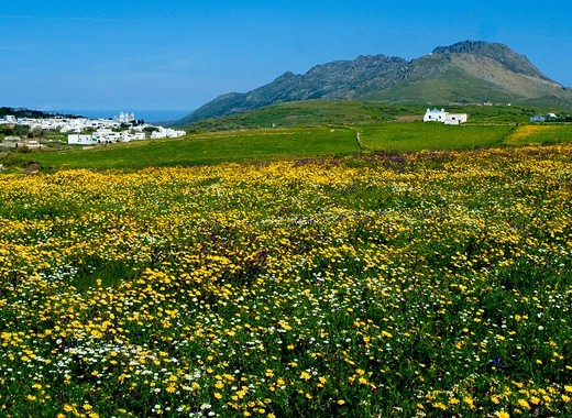 Stock Photo: 196-2585 Greece, Cyclades, Tinos island, Tinos village, Wildflowers in meadow