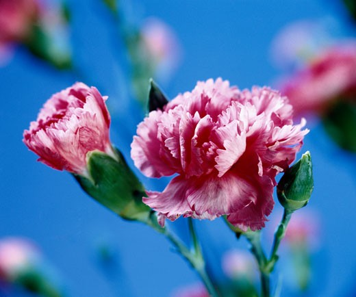 Carnation Flower, Day : Stock Photo