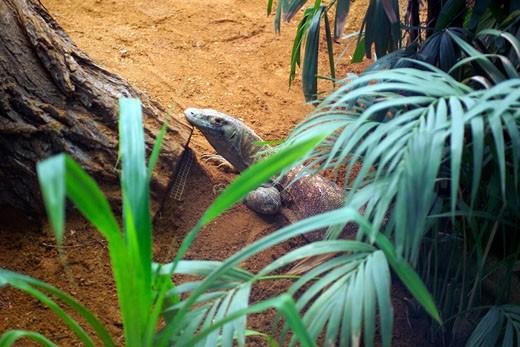 London Zoo, Komodo Dragon : Stock Photo
