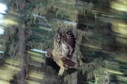 Stock Photo: 1989-1272 A  Northern  Spotted Owl flying through the trees in the Olympic National Forest in Washington