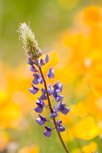 Lupine and California Poppies in the Sierra foothills near Auburn California : Stock Photo