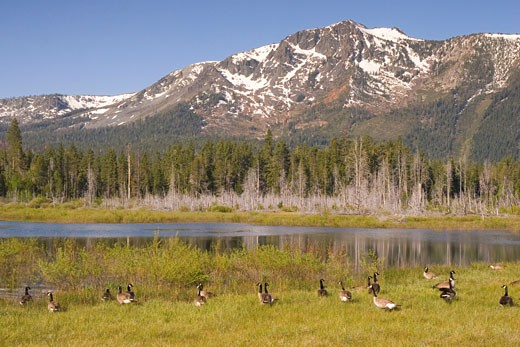 A flock of Canadian geese swimming in a pond in front of Mount Tallac near Lake Tahoe in California : Stock Photo