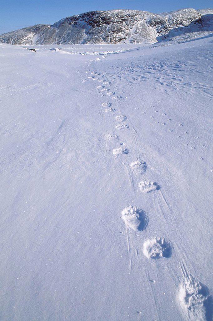 Stock Photo: 1990-10148 Polar Bear Tracks in the snow, Ellesmere Island, Nunavut, Canada