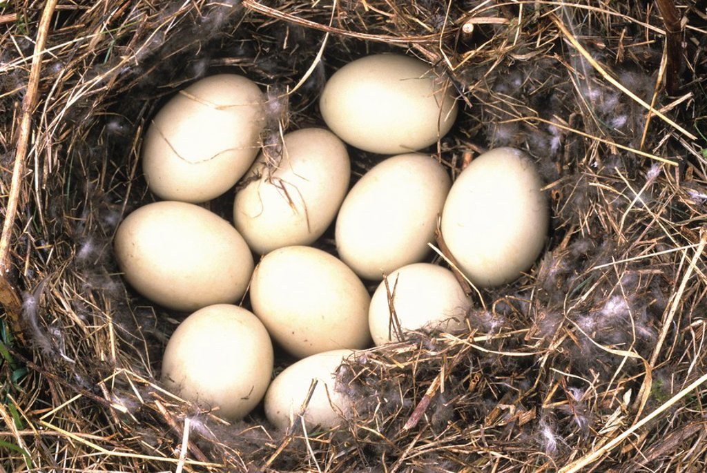 Black Duck nest, Nova Scotia, Canada : Stock Photo