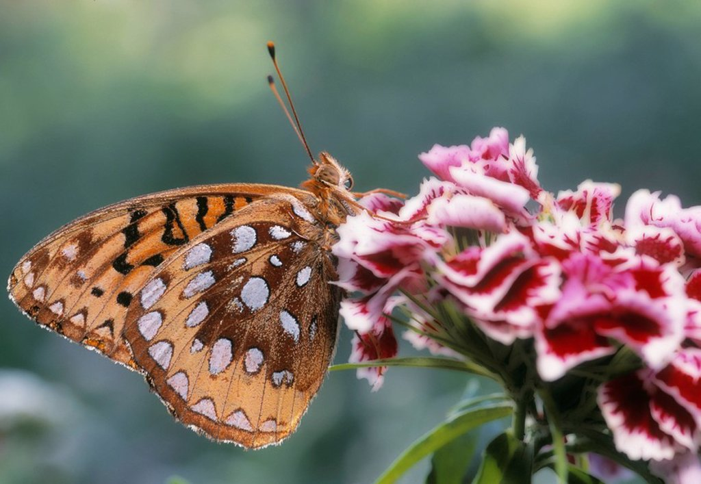 Stock Photo: 1990-10486 Coronis Fritillary Speyeria coronis, Alberta, Canada