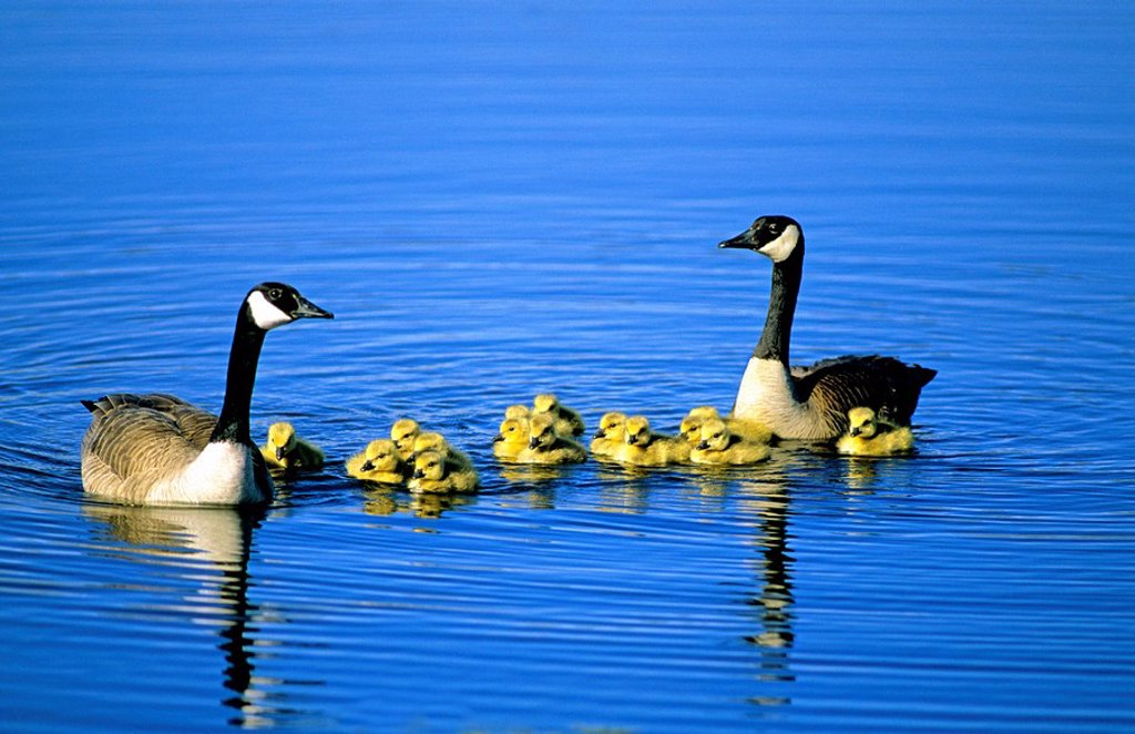 Adult Canada geese Branta canadensis with goslings, Alberta, Canada : Stock Photo