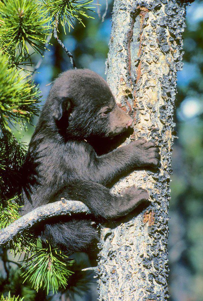 Stock Photo: 1990-10685 Three-month old black bear cub Ursus americanus trying to climb a lodgepole pine tree, Alberta, Canada